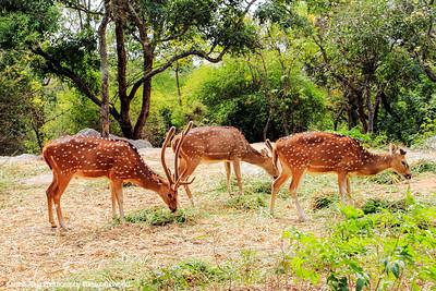 Deer, Bannerghatta National Park, India