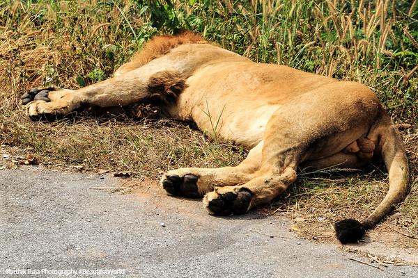 Lion, Bannerghatta National Park, India