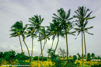 Coconut Trees, Dharapuram, Tamil Nadu, India