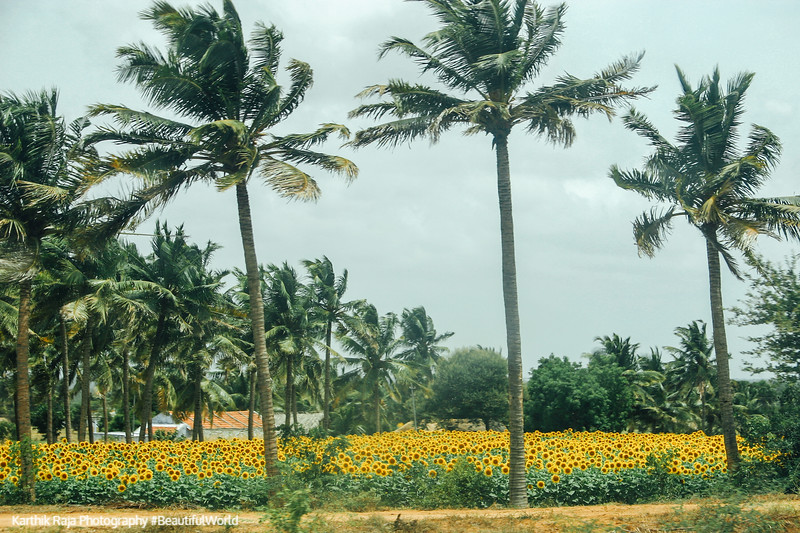 Sunflower fields and Coconut trees, Dharapuram, Tamil Nadu, India