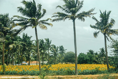 Sunflower fields and Coconut trees, Dharapuram, Tamil Nadu, India