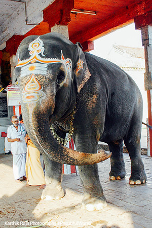 Adi Kumbeswarar Temple elephant, Kumbakonam, India