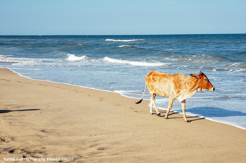 Cow, Pilgrimage Beach, Mahabalipuram, Tamil Nadu, India