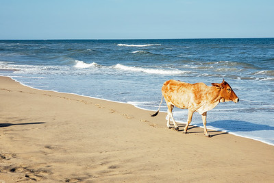 Cow, Pilgrimage Beach, Mahabalipuram, Tamil Nadu, India