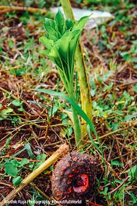 Senai kazhanghe root and plant, Umayalpuram,Tamil Nadu
