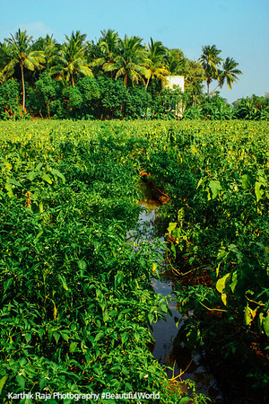 Palm Trees and Brinjal Fields, Umayalpuram,Tamil Nadu