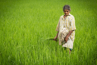 Old woman in the paddy field