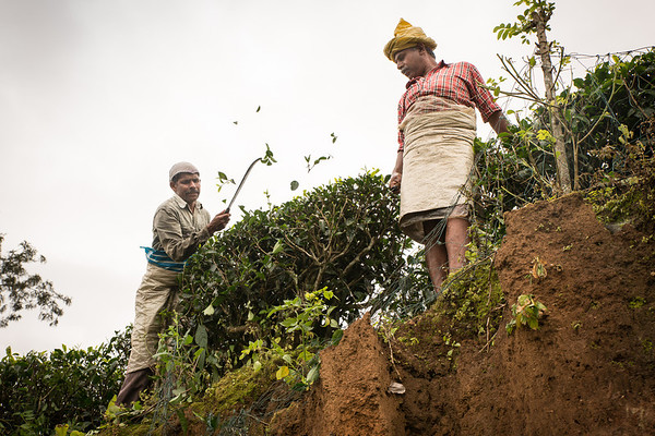 Workers at a tea plantation close to Kalpetta, Wayanad
