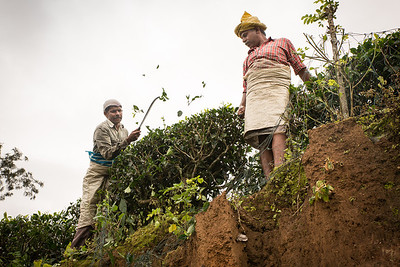 Workers at a tea plantation close to Kalpetta, Wayanad