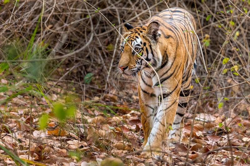 Bandhavgarh National Park, India.