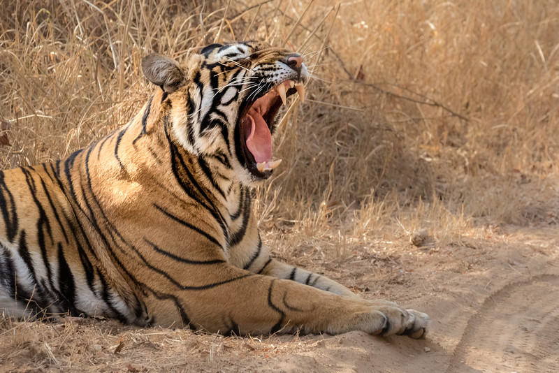 Ranthambore National Park, India. A yawning tiger next to a park road flashes massive incisors.