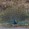 A Peacock where it belongs - in its native India.