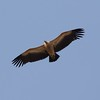 Indian Vultures are the most common but their numbers have declined dramatically due to excessive use of Diclofenac.