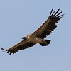 A majestic Indian Vulture soaring over the Kanha meadow.