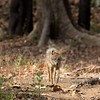 A Golden Jackal lit by sunlight in a patch of forest at Kanha.