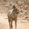 A Golden Jackal trotting along a track in Kanha.