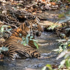 One of Xena's cubs cooling down in a stream
