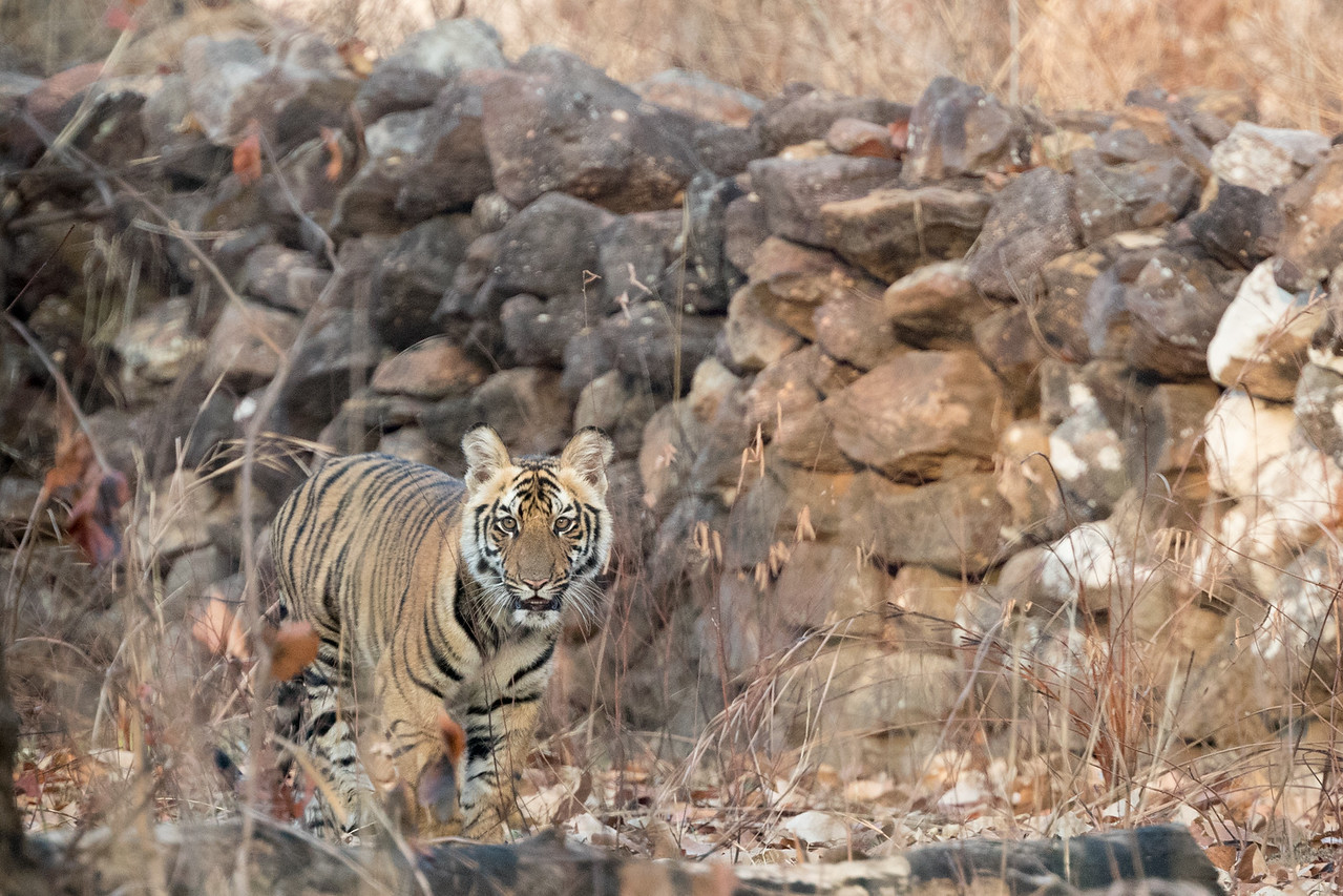Just over an hour into our first visit to Bandhavgarh tiger reserve and we saw a mother with four cubs.  This is one of them in soft early morning light.