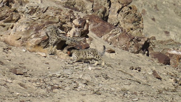 Mom & cub snow leopards