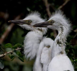 Baby Snow Egrets