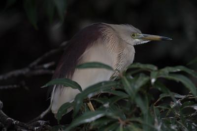 Indian Heron