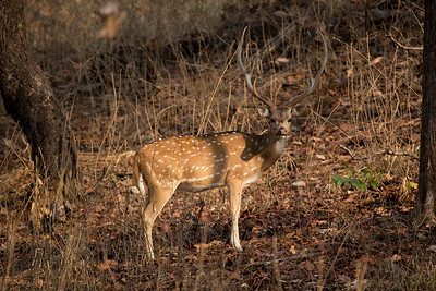 Chital (spotted deer) in Pench NP