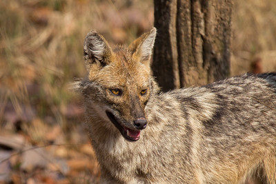 Golden Jackal in Kanha NP