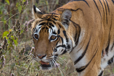 Tigress in Kanha NP