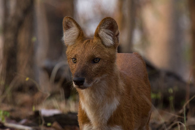 Dhole (wild dog) in Pench NP
