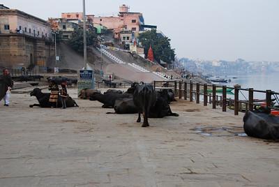 135 - Varanasi, cows on the Ghat