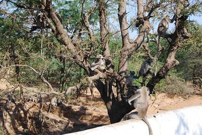 496 - Monkeys in Pushkar