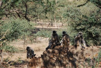 497 - Monkeys in Pushkar