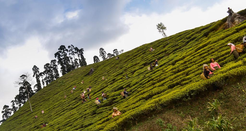 Tee Gardens Darjeeling