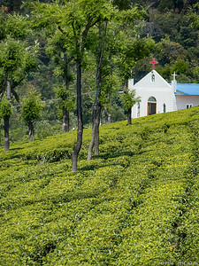 Coonor Tea Plantation
