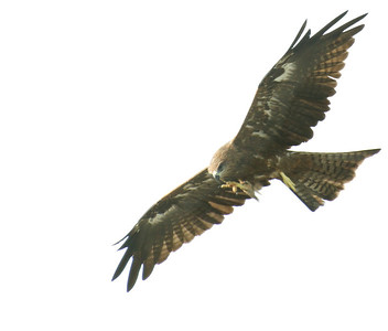 Hunting Pigeons; Delhi