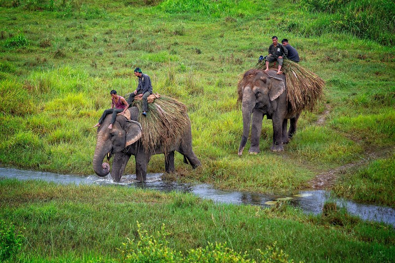 Elephants carry their own daily feed, Chitwan, Nepal