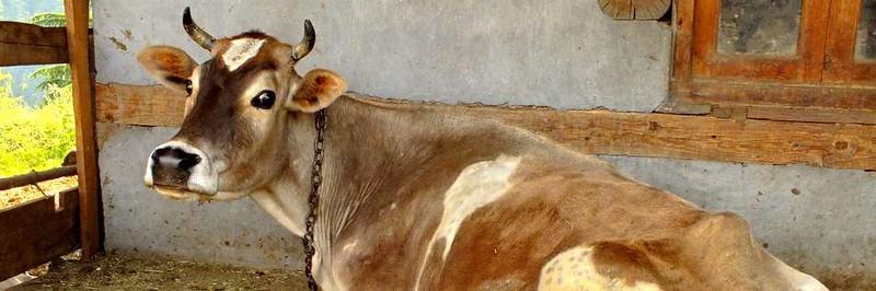 священная храмовая корова