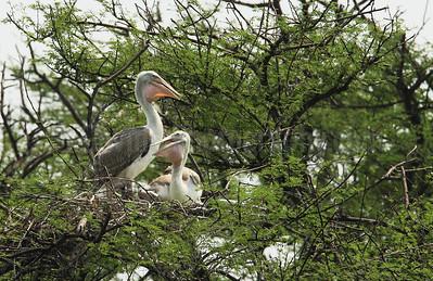 Juvenile Spot-billed Pelicans