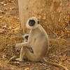 Female and Infant Langurs