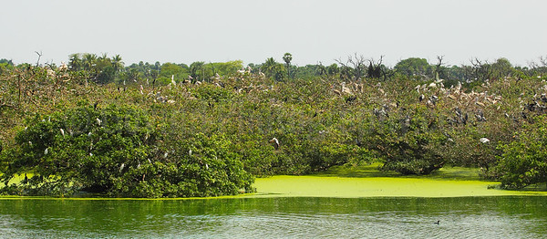 Nesting Birds at Vedanthangal Bird Sanctuary