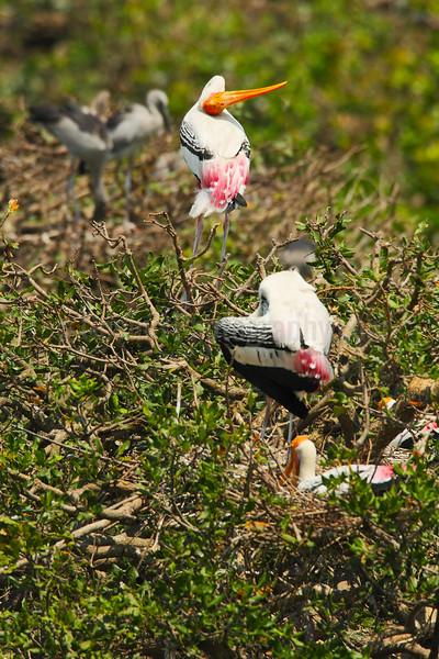 Preening Painted Storks