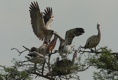 Spot-Billed Pelican Feeding Family