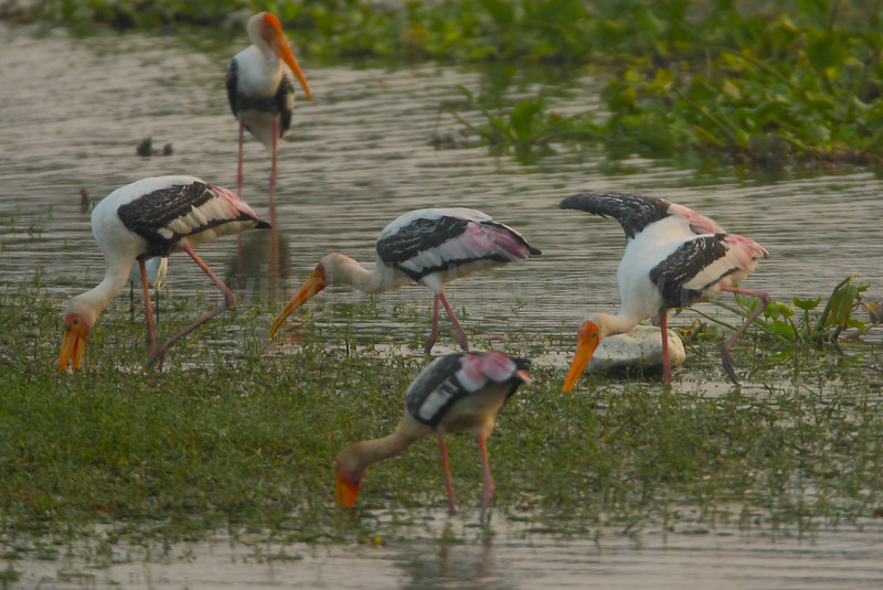 Feeding Painted Storks