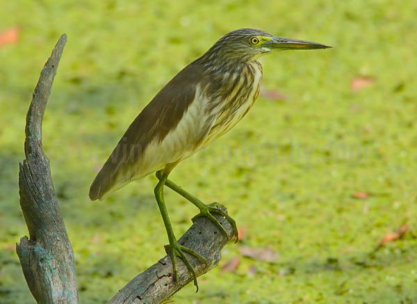 Pond Heron (Paddy Bird)