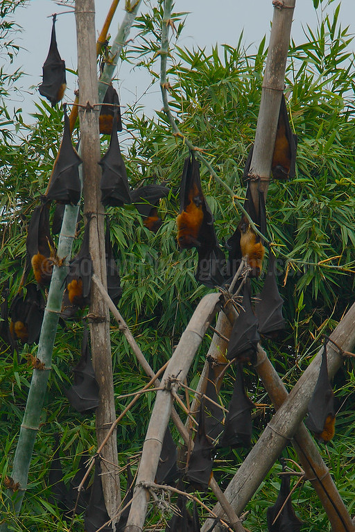 Resting Flying Foxes