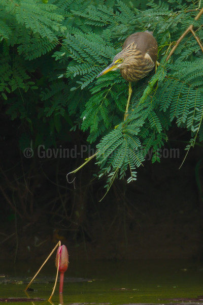 Pond heron/Paddy bird
