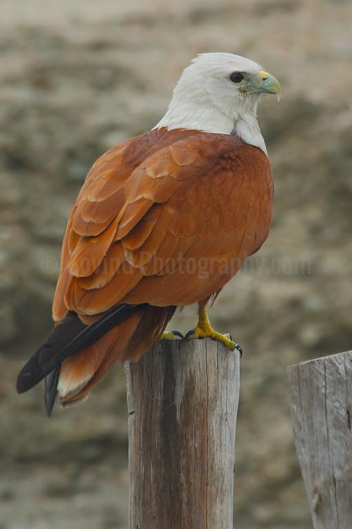 Adult Brahminy Kite