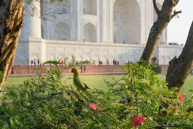 Green Parrot at the Taj Mahal