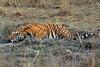 Bengal Tiger at Kanha Wildlife Refuge