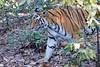 Bengal Tiger at Bandhavgarh National Park